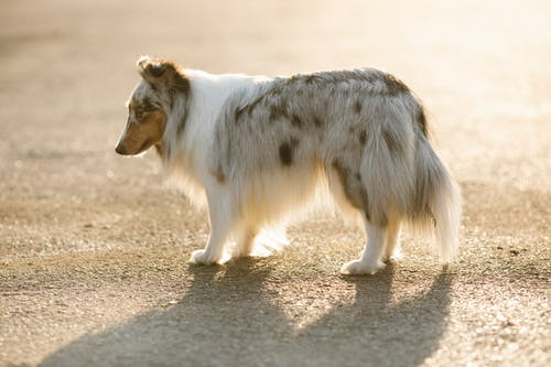 Lonely purebred dog with spots on fluffy coat looking down while standing on asphalt roadway in back lit