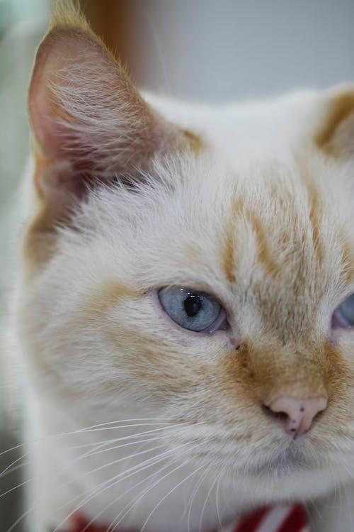 Безкоштовне стокове фото на тему «білий, благодать, блакитні очі»