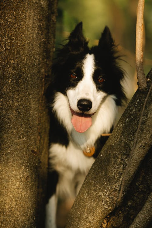 Cute purebred dog with tongue out in pendant looking at camera between rough tree trunks in sunlight