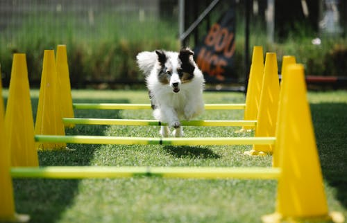 Active purebred dog with fluffy coat jumping above bar while running on meadow with cones on sunny day