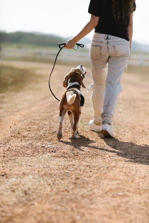 Foto stok gratis anjing, anjing beagle, anonim