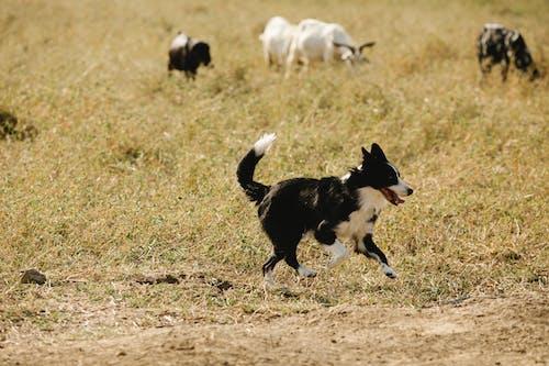 Cute Border Collie running near grassland with livestock