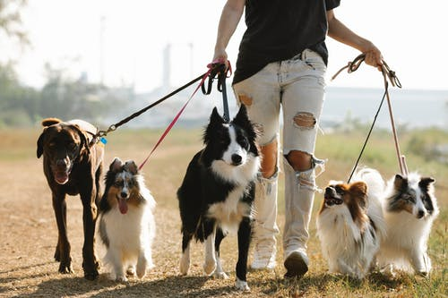 Crop anonymous female owner strolling with group of dogs of different breeds on leashes on rural road in sunny countryside