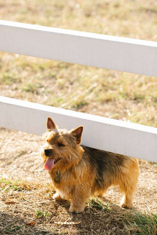 Norwich Terrier under fence in countryside