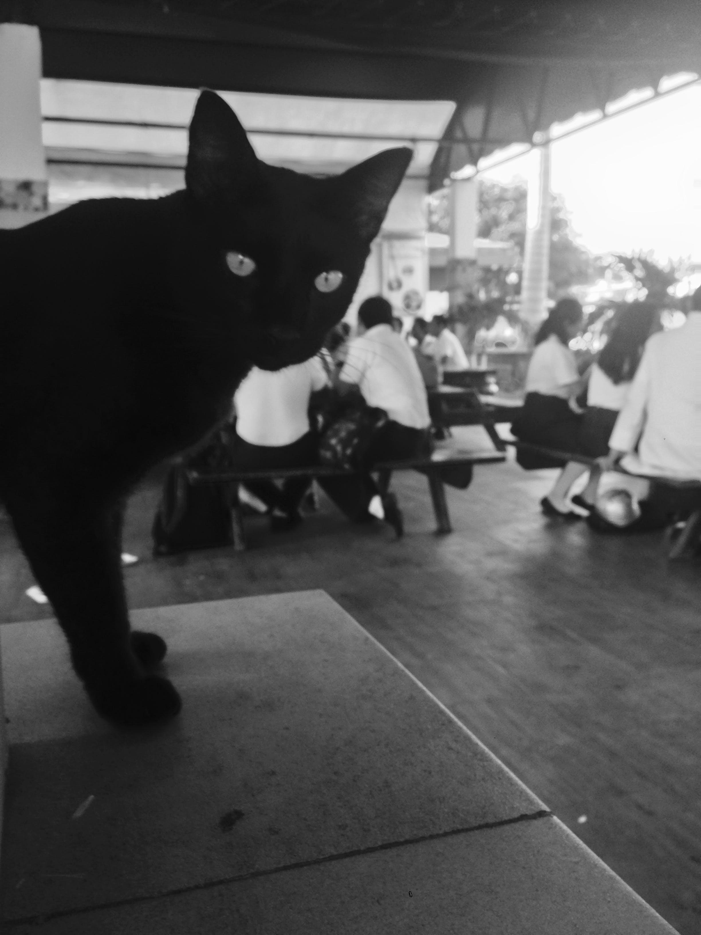 Δωρεάν στοκ φωτογραφιών με ασπρόμαυρο, Γάτα