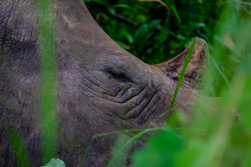 Head of wild big rhinoceros with gray skin and tusk standing amidst blurred grass blades in forest on summer day