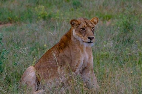 Lioness on grassy field in savanna