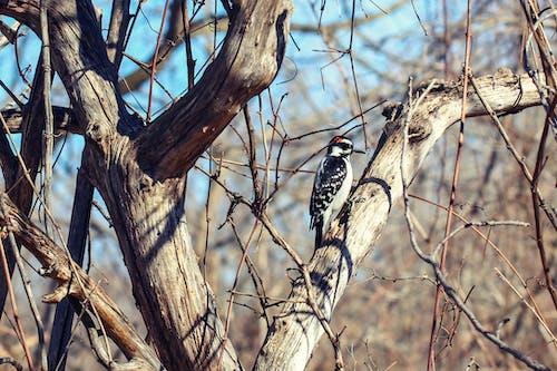 Free stock photo of bird, woodpecker, woods