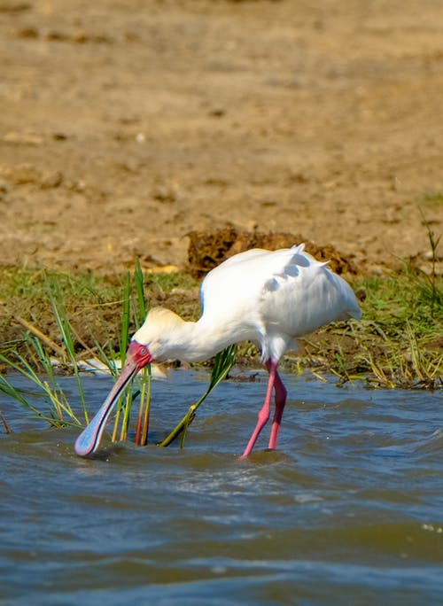 Side view of exotic white African spoonbill bird drinking water from river near sandy shore on sunny day in nature