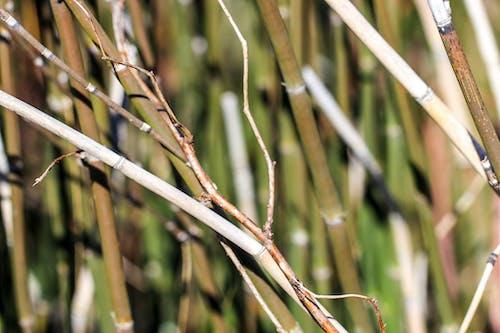 Free stock photo of marsh, reeds