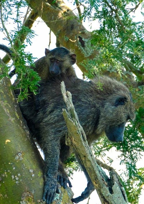 Papio ursinus monkeys sitting on tree on sunny day
