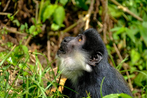 Curious Macaca monkey looking up attentively in forest