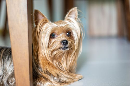 Close-Up Photo of an Adorable Yorkshire Terrier Lying on the Floor