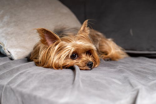 Brown Yorkshire Terrier Lying on the Bed