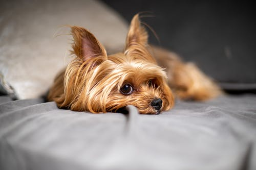 Selective Focus Photo of a Cute Yorkshire Terrier Lying on the Bed