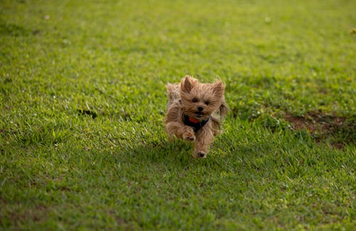 Photo of a Yorkshire Terrier Running on the Grass