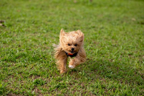 Close-Up Photo of a Brown Yorkshire Terrier Running on the Grass