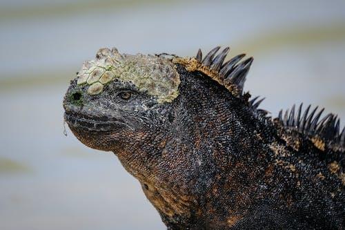 Kostenloses Stock Foto zu amblyrhynchus cristatus, aufmerksam, blick