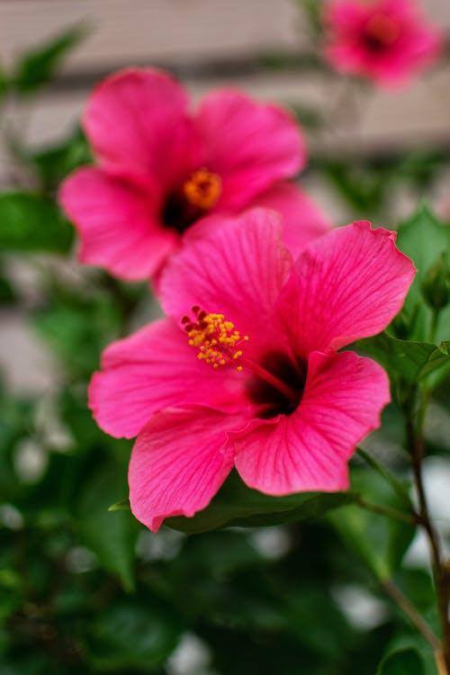 Close-Up Shot of Pink Hawaiian Hibiscus Blooming