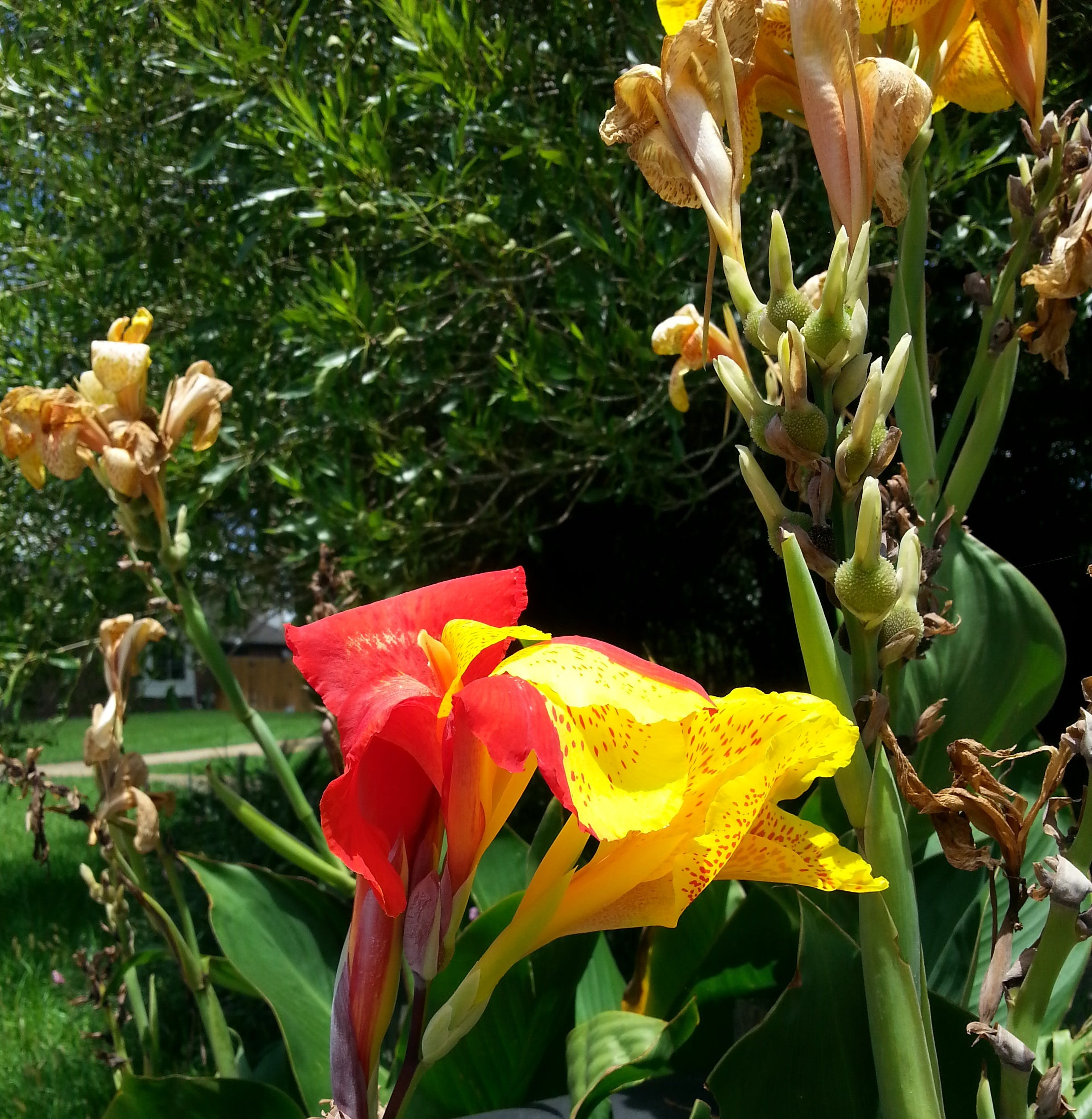 Free stock photo of canna, lily, plant, red