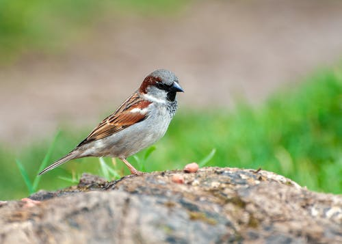 Close-Up Shot of a Sparrow Standing