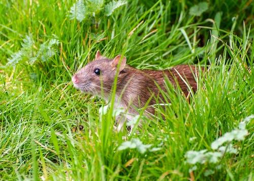 ネズミ, ひげ, フィールドの無料の写真素材