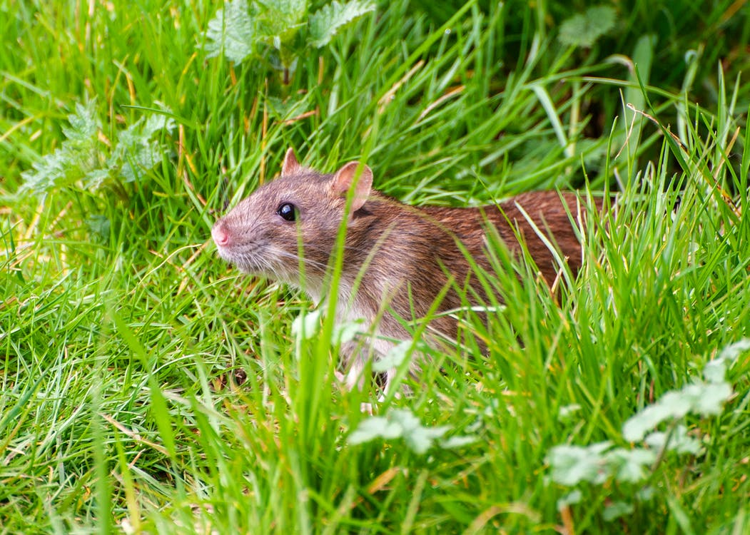 Close-Up Shot of a Brown Rat on a Grassy Field