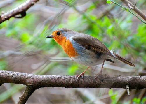 Macro Shot of a European Robin Perched on a Twig