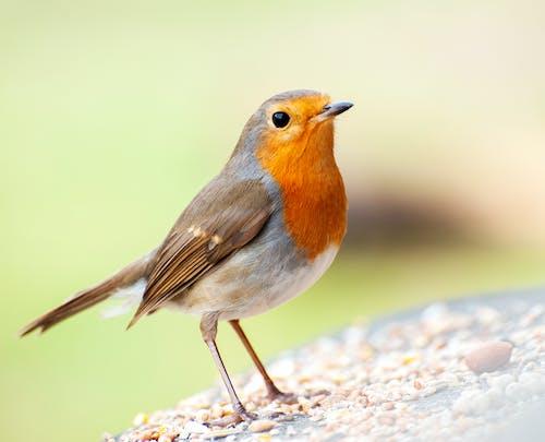Macro Shot of a European Robin