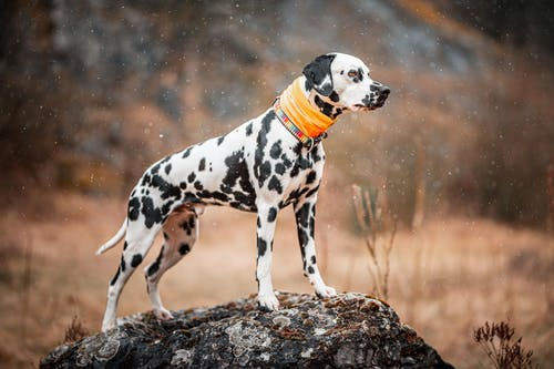 Black and White Dalmatian Dog on Brown Ground