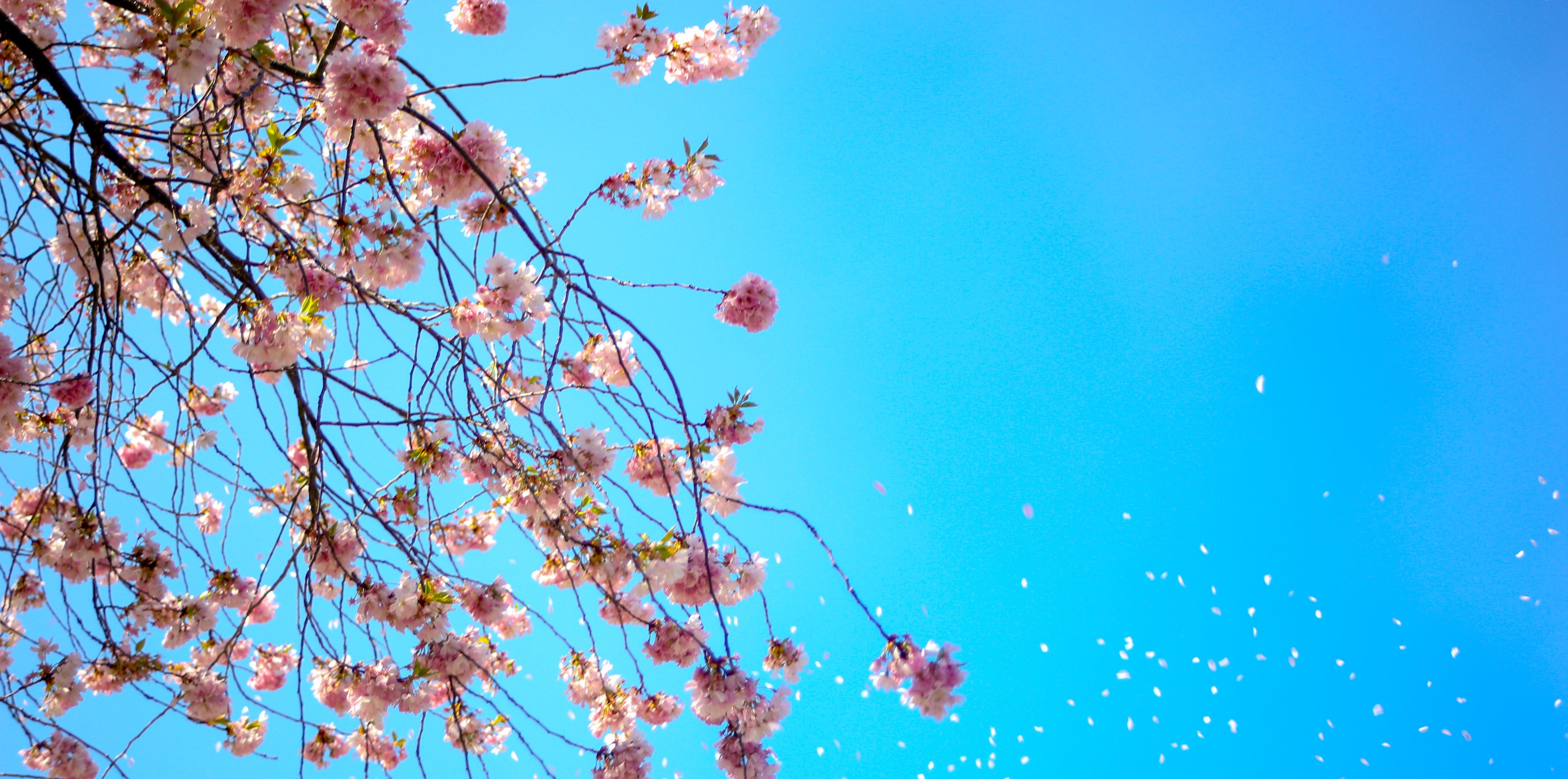 Kostenloses Stock Foto zu blau, blauer himmel, blumen, blüte