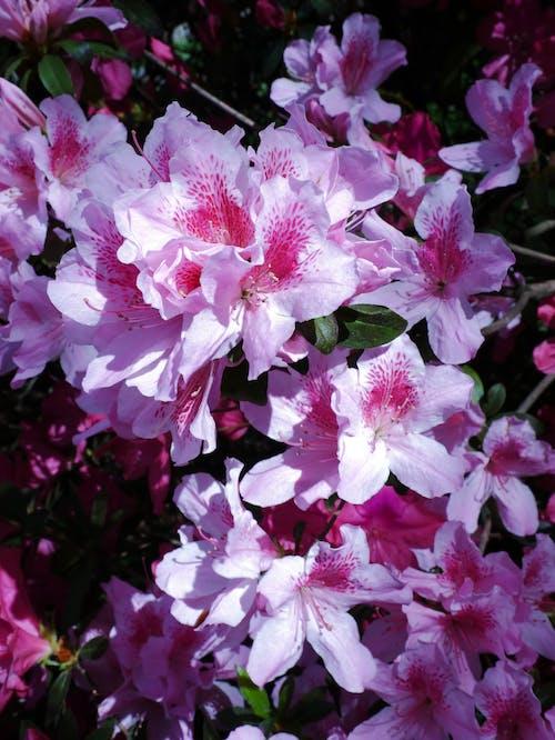 杜鵑花, 杜鹃花, 盛开的花朵 的 免费素材图片