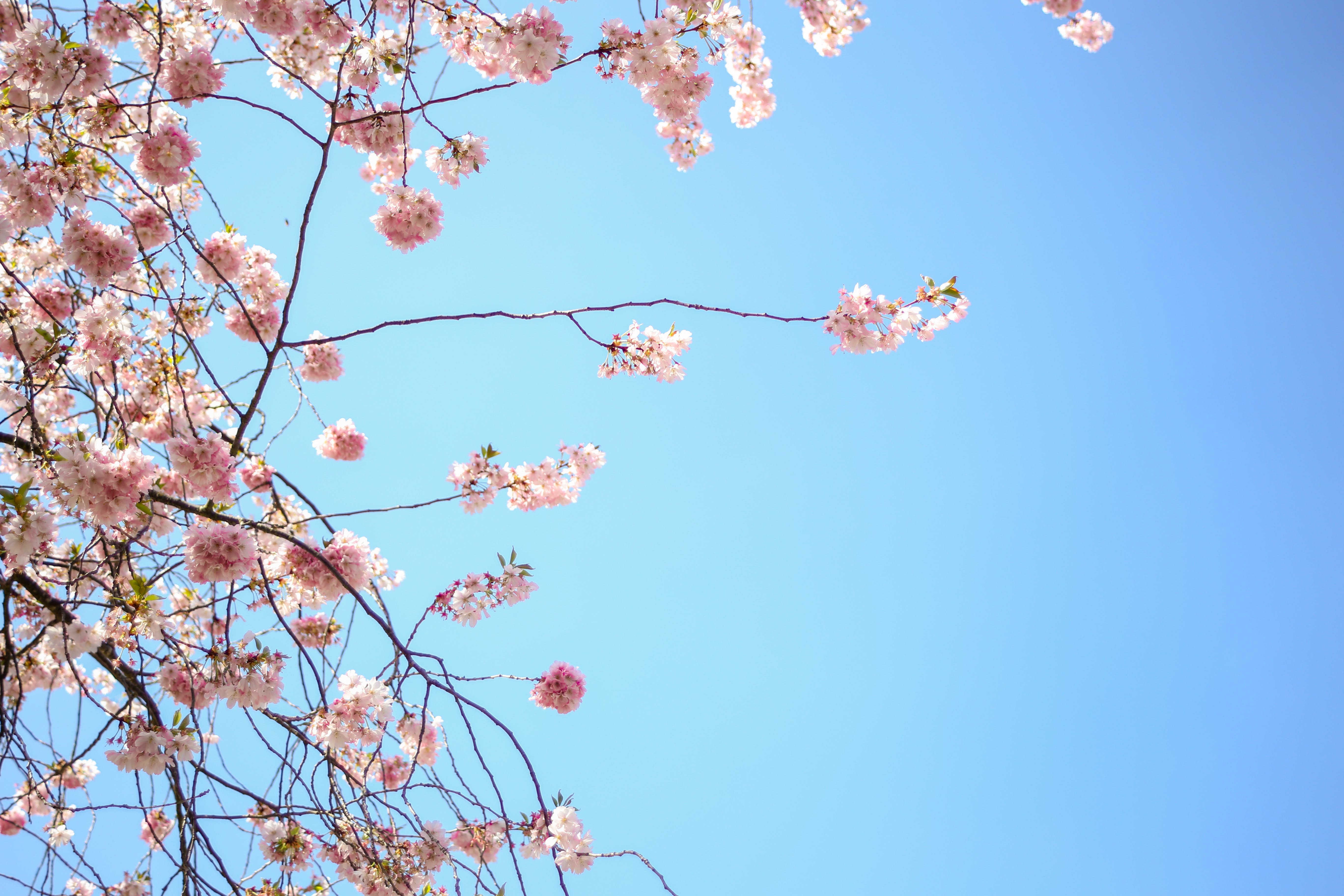 Free stock photo of blossom, blue, blue sky, blume