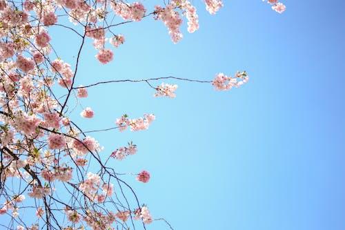 Ảnh lưu trữ miễn phí về bầu trời, blume, hoa, Hoa anh đào