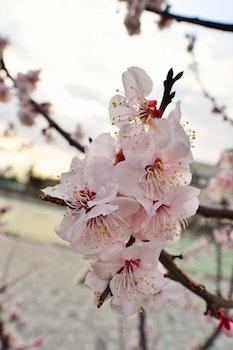 Free stock photo of flowers, flower, cherry, bloom