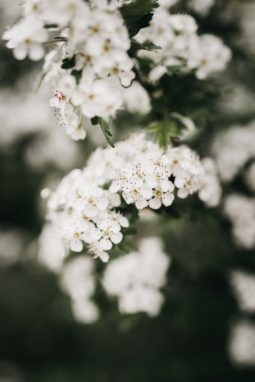 Shrub with blooming white flowers in garden
