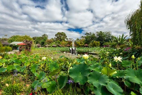 구름 낀 하늘, 녹지, 아름다운 꽃, 연꽃의 무료 스톡 사진