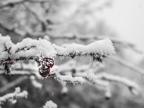 Безкоштовне стокове фото на тему «#berry, #branch, #cold, #red»