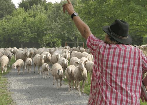 Безкоштовне стокове фото на тему «#nature, #sheep»