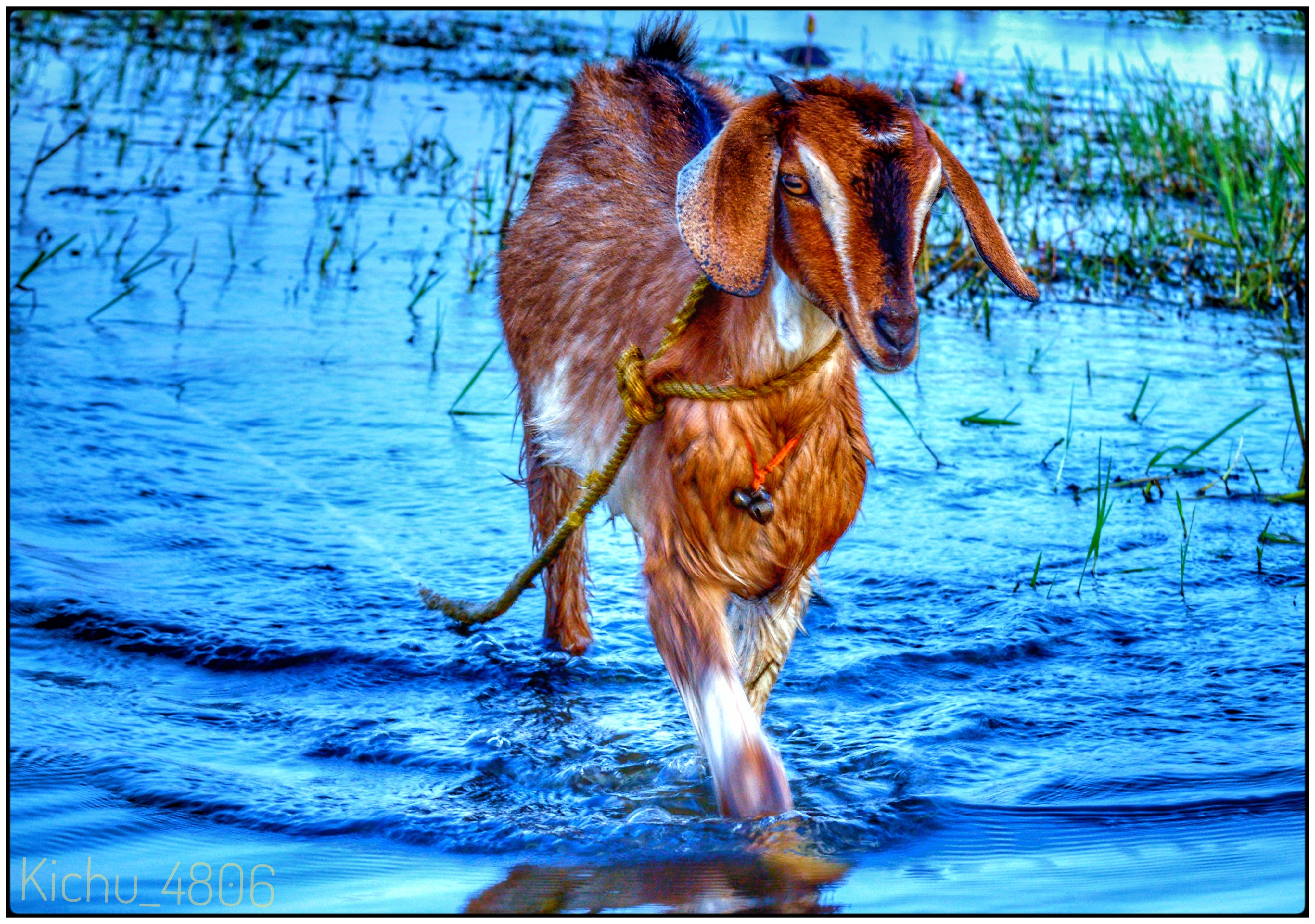Free stock photo of #behringer, #goat #water, #nikon