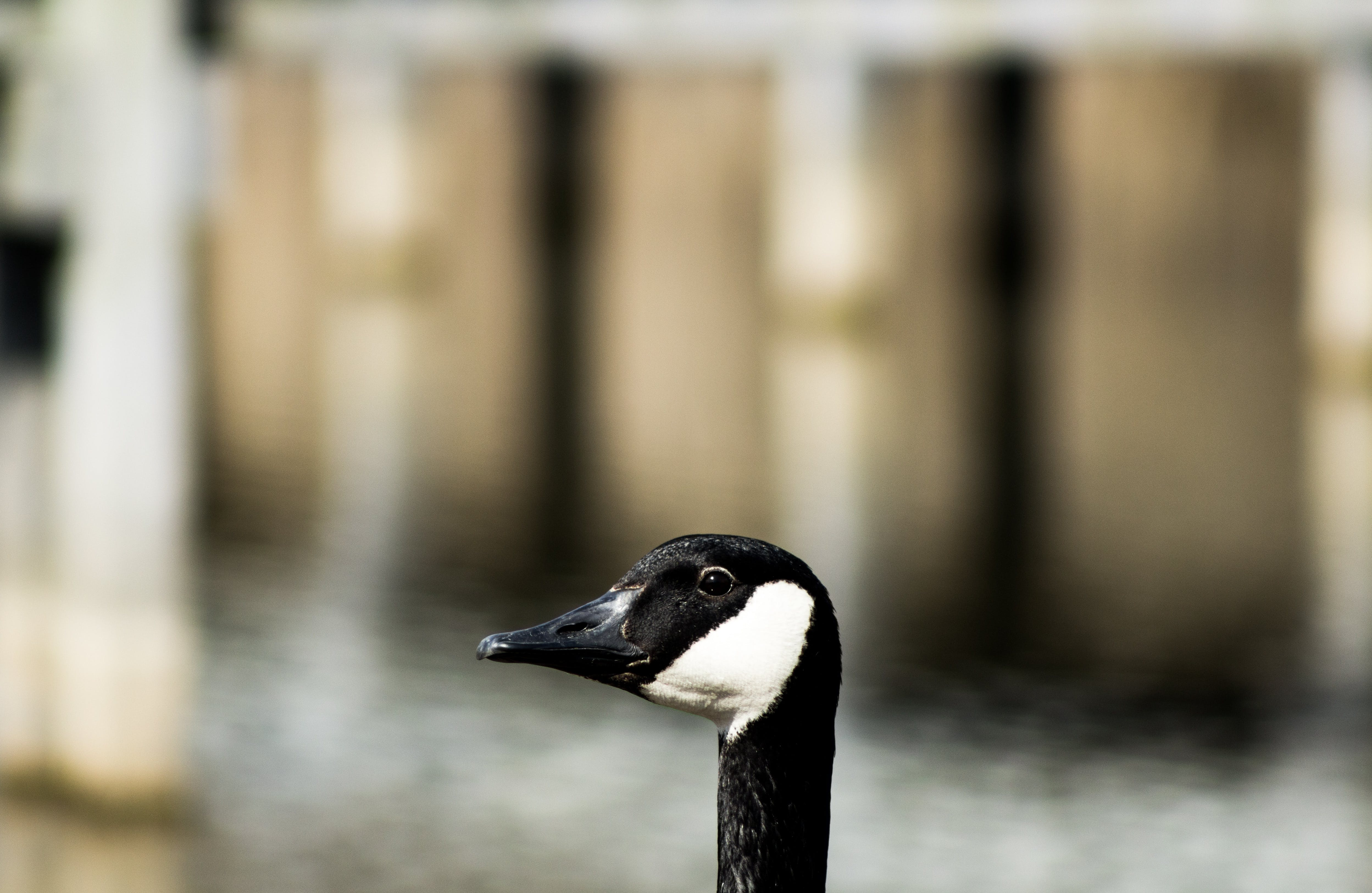 White and Black Duck