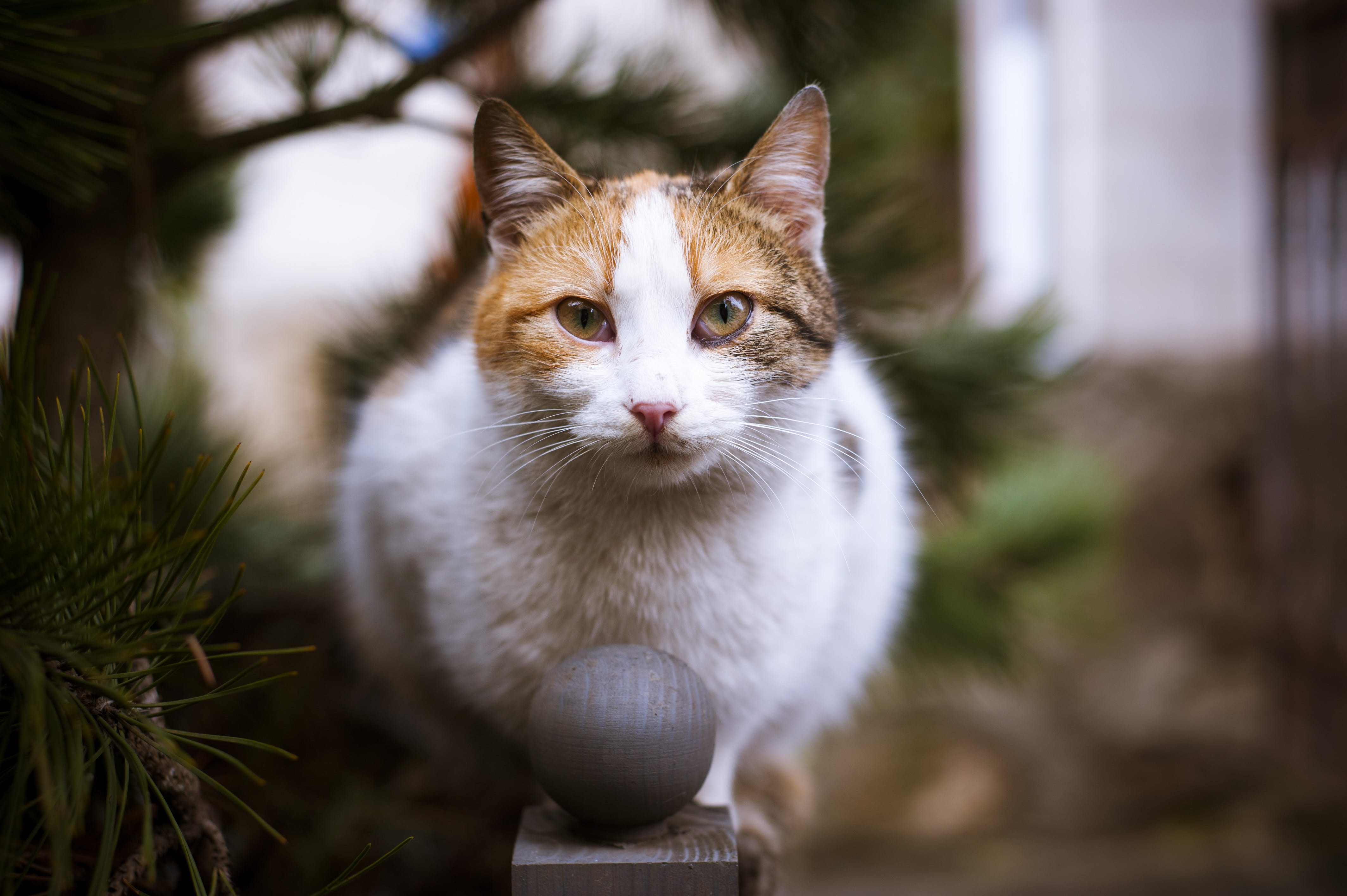 Close-up Photo of Tricolor Cat