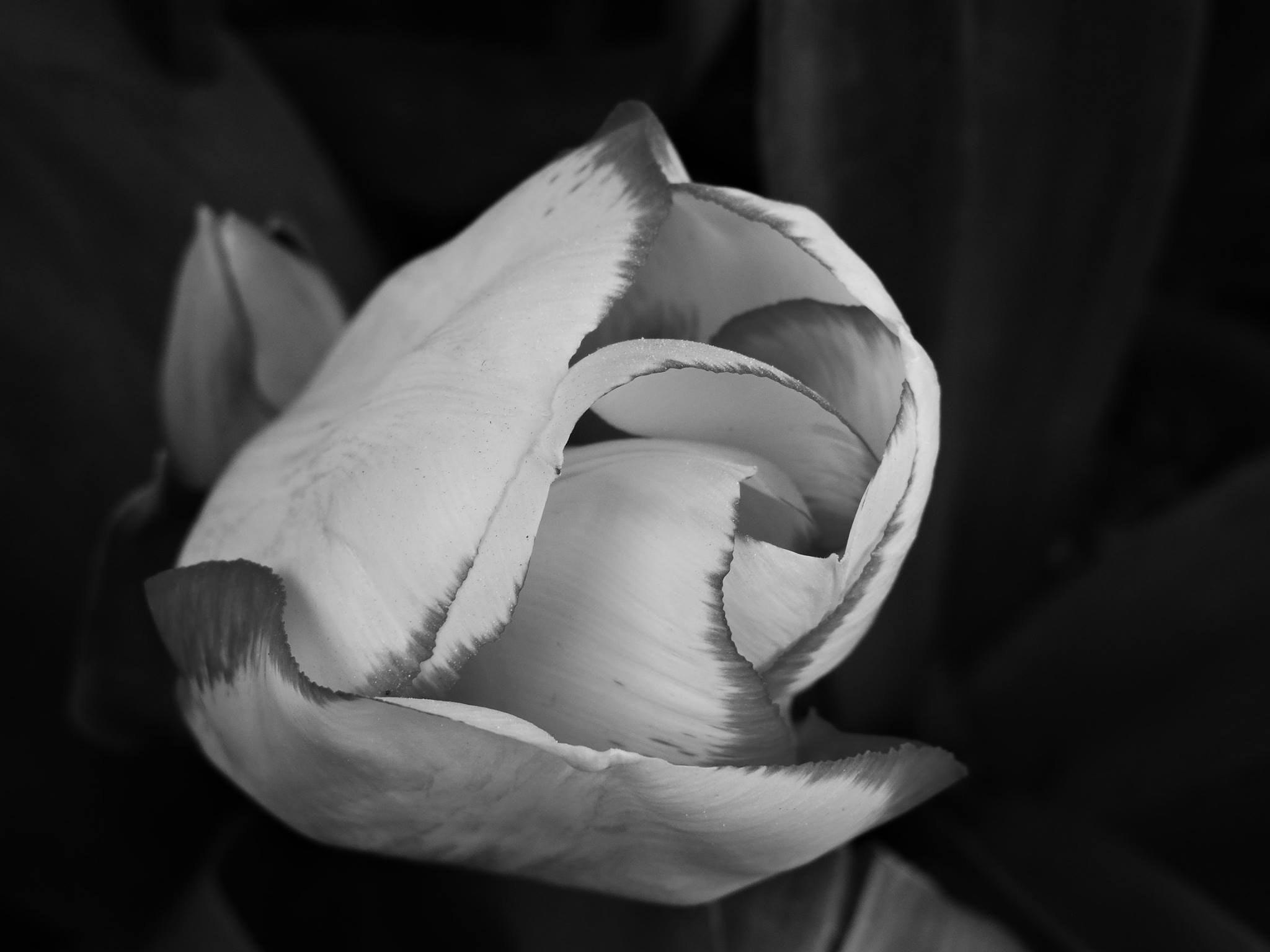 Foto Stok Gratis Tentang Alam Bunga Tulip Hitam Dan Putih