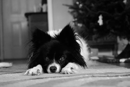 Fotobanka sbezplatnými fotkami na tému mláďa psa, ospalý, pes, šteniatko
