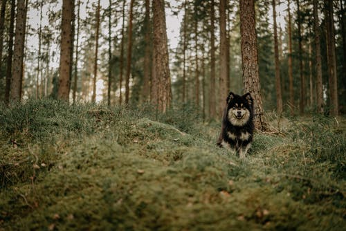 Black and White Siberian Husky on Brown Grass Field