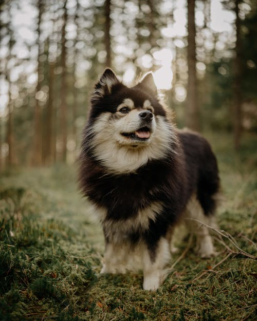 Black and White Siberian Husky Puppy on Green Grass