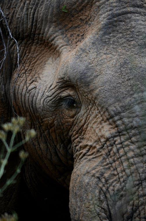 Grey Elephant Eating Grass