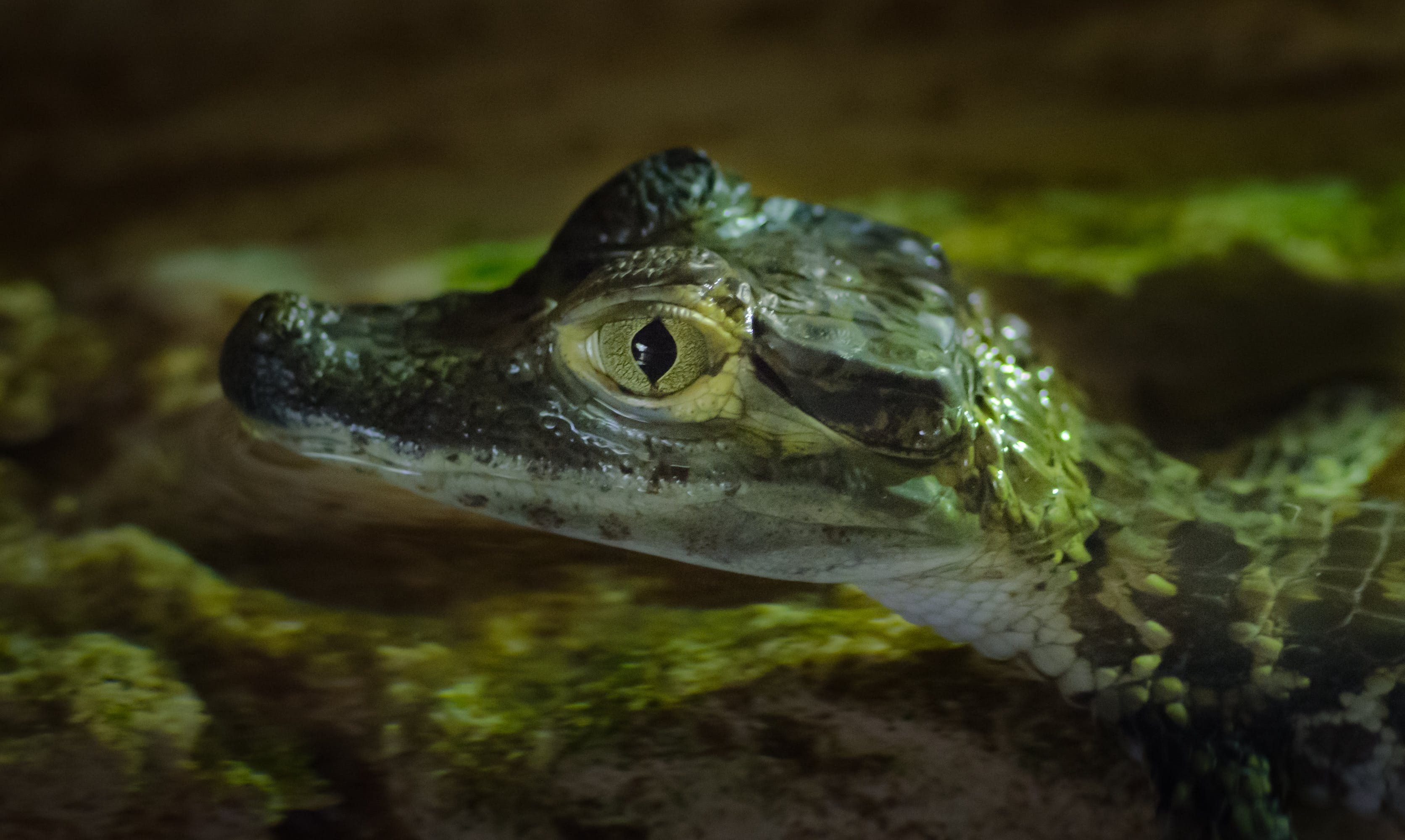 Close-up Photography of Baby Alligator