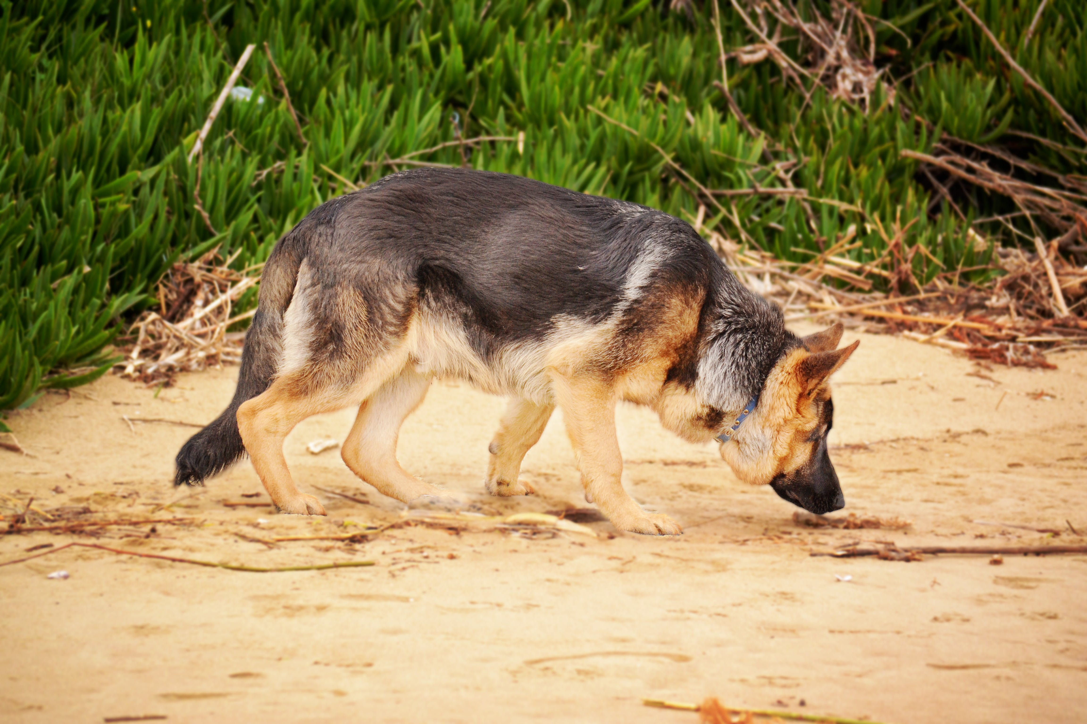 Photo of a German Shepherd Sniffing