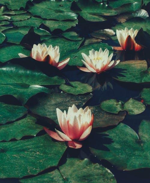 Free stock photo of dark green leaves, details, flower petals